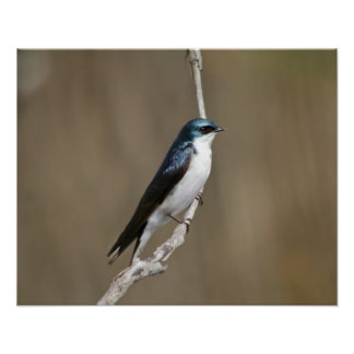Tree Swallow Bird Posters