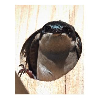 Tree Swallow in box Flyers