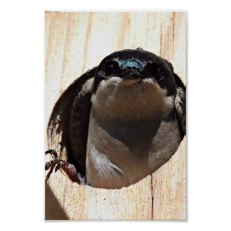 Tree Swallow in box Posters