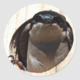 Tree Swallow in box Round Stickers
