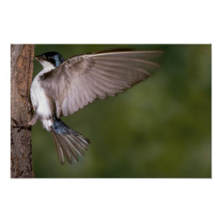 Tree Swallow on tree trunk Posters