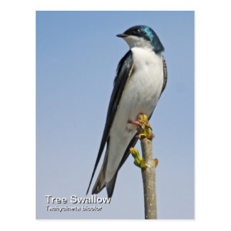 Tree Swallow Postcard