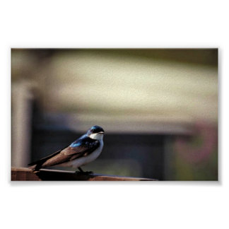 Tree swallow posters