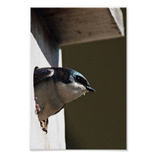 Tree Swallow Profile in Nest Box Posters