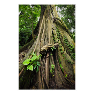Tree trunk and roots entwined with lianas posters