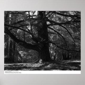 Tree, UC Santa Cruz, March 1962 Poster