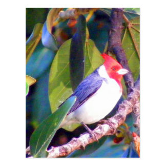 Tree with Brazilian Cardinal Post Cards