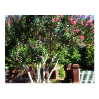 Tree with Pink Blooms Postcard