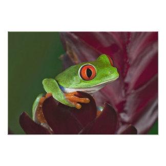 treefrog Rojo-observado Fotografía