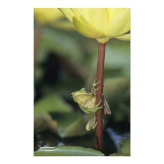 Treefrog verde, Hyla cinerea, adulto en amarillo Cojinete