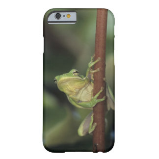 Treefrog verde, Hyla cinerea, adulto en amarillo Funda Barely There iPhone 6