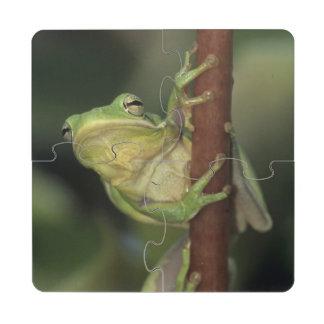 Treefrog verde, Hyla cinerea, adulto en amarillo Posavasos De Puzzle