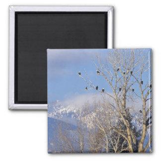 Treeful de águilas calvas acerca a Hamilton Montan Imán Cuadrado