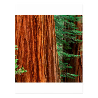 Trees Giant Sequoia Mariposa Grove Yosemite Postcard