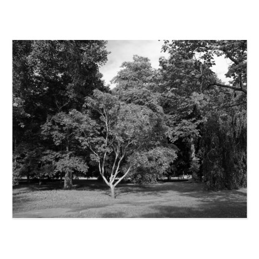 Trees in Summer BW Postcard