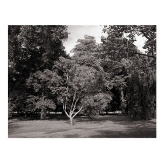 Trees in Summer - Warm Toned BW Postcard