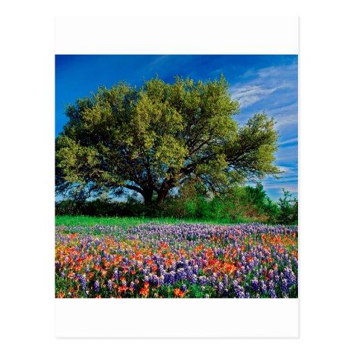 Trees Live Oak Among Texas Bluebonnets Post Cards