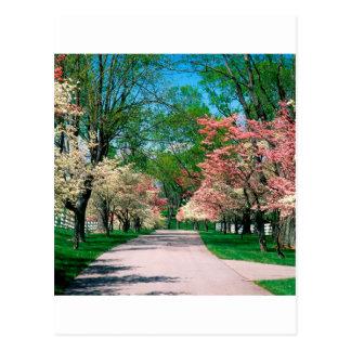 Trees Pink White Dogwood Lexington Kentucky Postcard