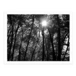 Trees & Sun (1) Postcard