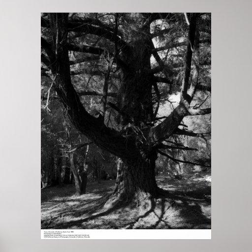 Trees, UC Santa Cruz, 1963 Poster