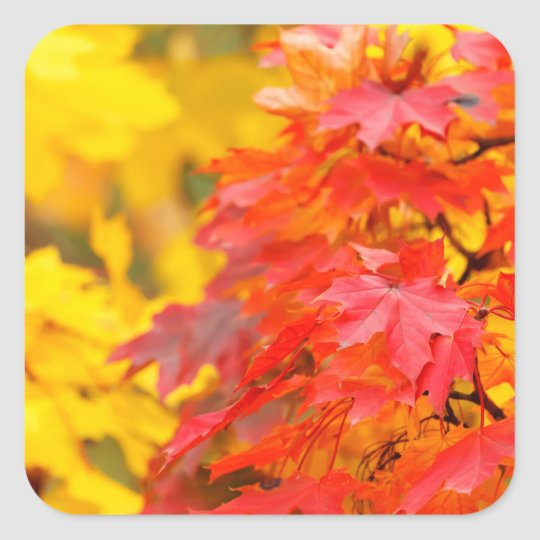 Trees with Orange and Yellow Leaves in the Fall Square Sticker
