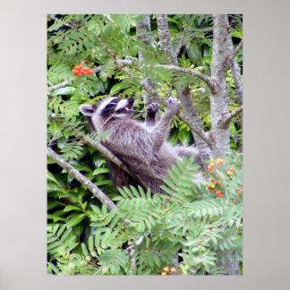 Treetop Raccoon Poster