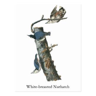 Trepatroncos Blanco-breasted, Juan Audubon Tarjetas Postales