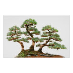 tres árboles de los bonsais del pino póster