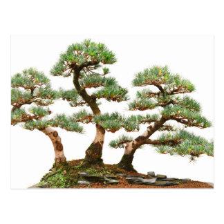 tres árboles de los bonsais del pino tarjetas postales