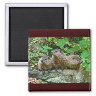 Tres bebé Groundhogs Iman
