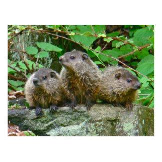 Tres bebé Groundhogs Postal