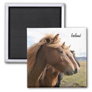 Tres caballos de Islandia en un imán de la fila