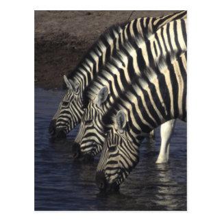 Tres cebras en un agujero de riego, tarjetas postales