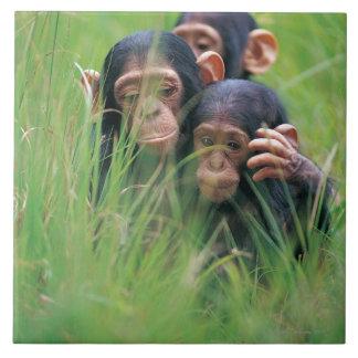Tres chimpancés jovenes (trogloditas de la cacerol tejas
