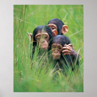 Tres chimpancés jovenes (trogloditas de la cacerol póster
