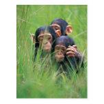 Tres chimpancés jovenes (trogloditas de la cacerol postales
