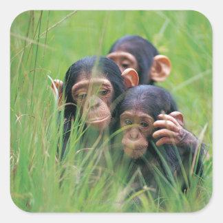 Tres chimpancés jovenes (trogloditas de la pegatina cuadrada