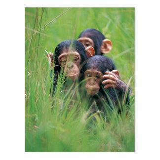 Tres chimpancés jovenes (trogloditas de la postal