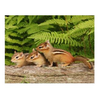 tres chipmunks del bebé tarjetas postales