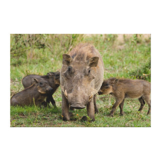 Tres cochinillos de Warthog amamantan en su madre Impresión En Lona