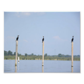 Tres cormoranes arte con fotos