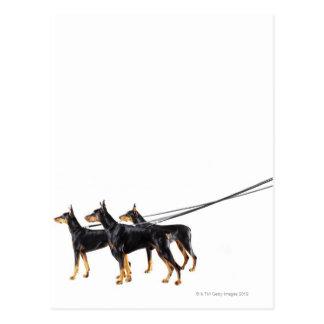 Tres Dobermans en el correo Postales