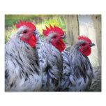 Tres gallos fotografías