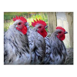 Tres gallos tarjeta postal