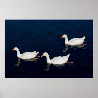 Tres gansos de Emden Póster