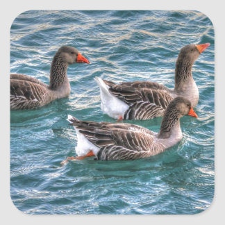 Tres gansos que nadan en agua azul pegatina cuadrada