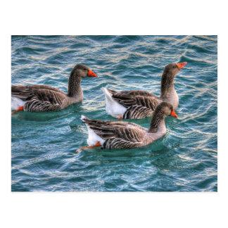Tres gansos que nadan en agua azul postal