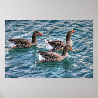 Tres gansos que nadan en agua azul póster