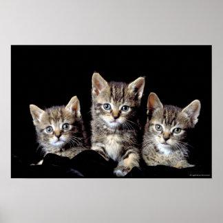 Tres gatitos de Junglewalk.com Póster