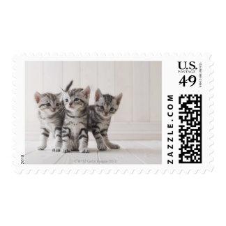 Tres gatitos de Shorthair del americano Franqueo